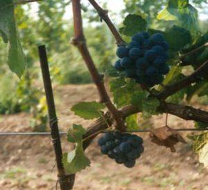 Selection Preisinger - die Weintrauben für den EGO Wein von Helmut Preisinger, Gols